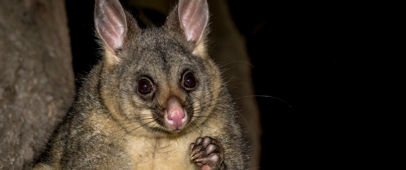 The Common Brushtail Possum on Kangaroo Island