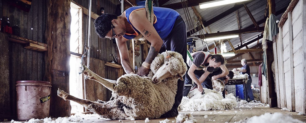 Rob's sheep shearing and Sheepdogs on Kangaroo Island An authentic Aussie experience