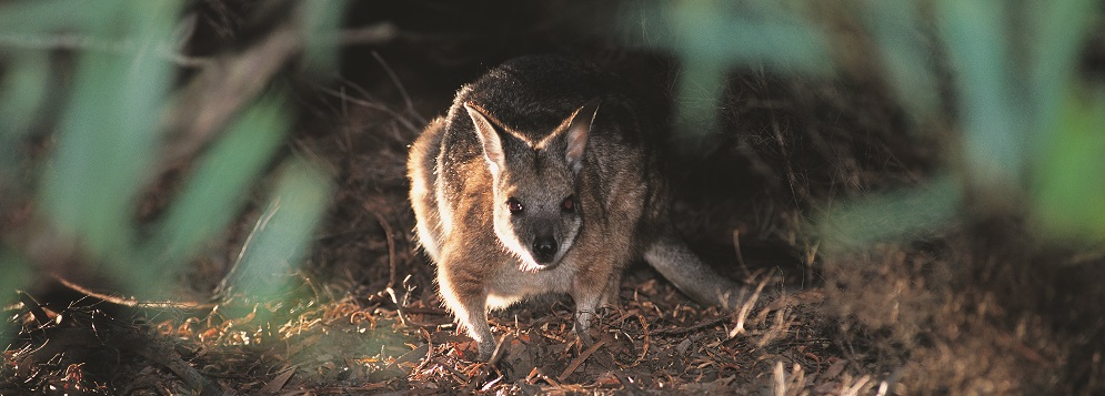 Getting to Know the Tammar Wallaby on Kangaroo Island