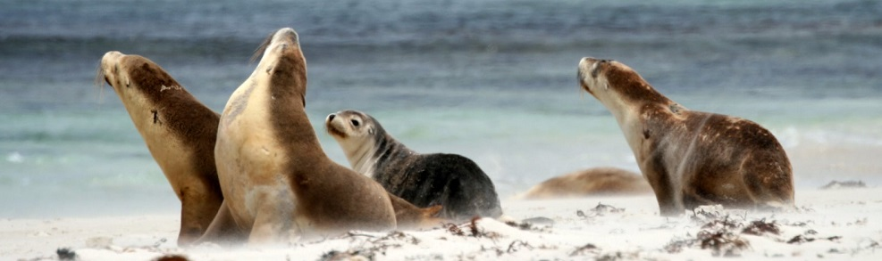 The Wild Australian Sea Lions of Kangaroo Island