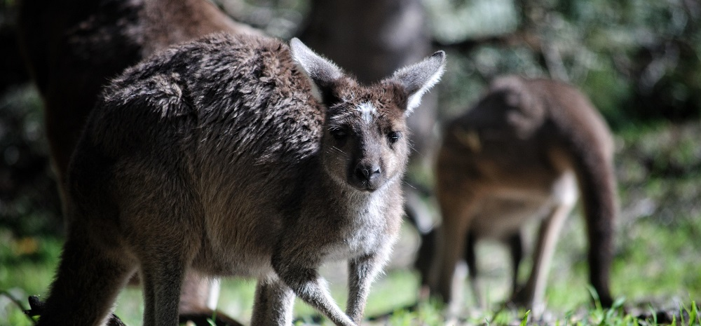 Are there kangaroos on Kangaroo Island?