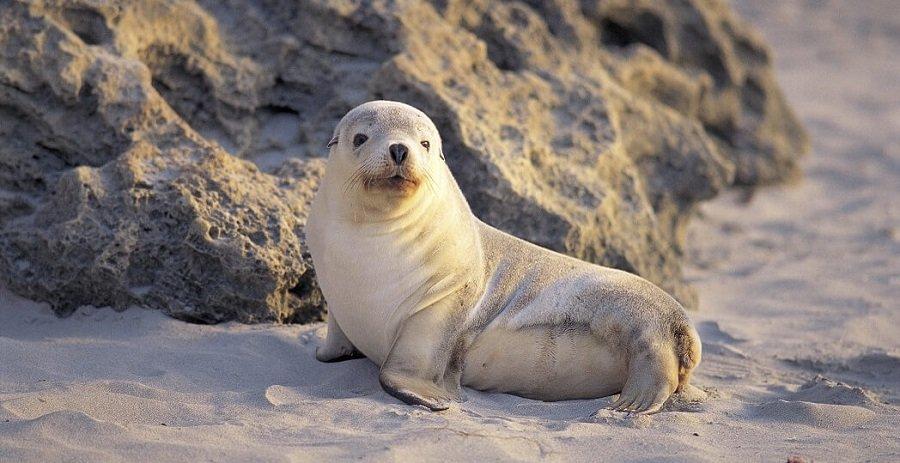 kangaroo island seal lions