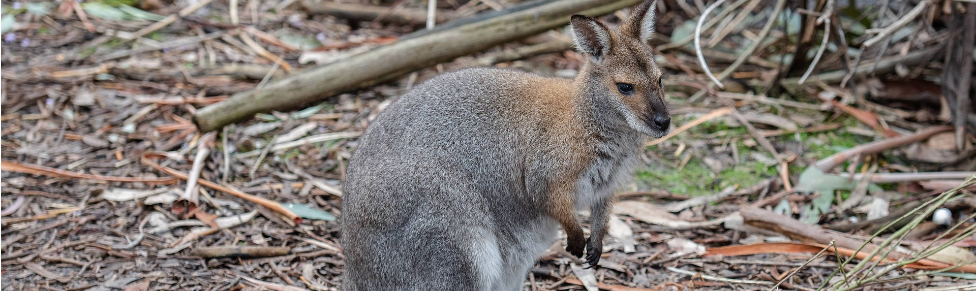 What is the difference between a Kangaroo and a Wallaby?