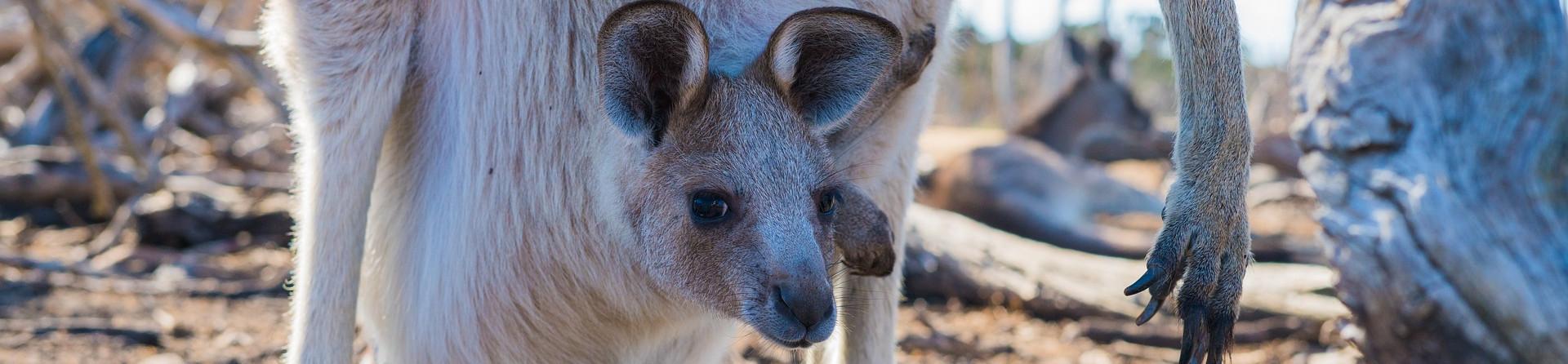 The life cycle of a baby kangaroo