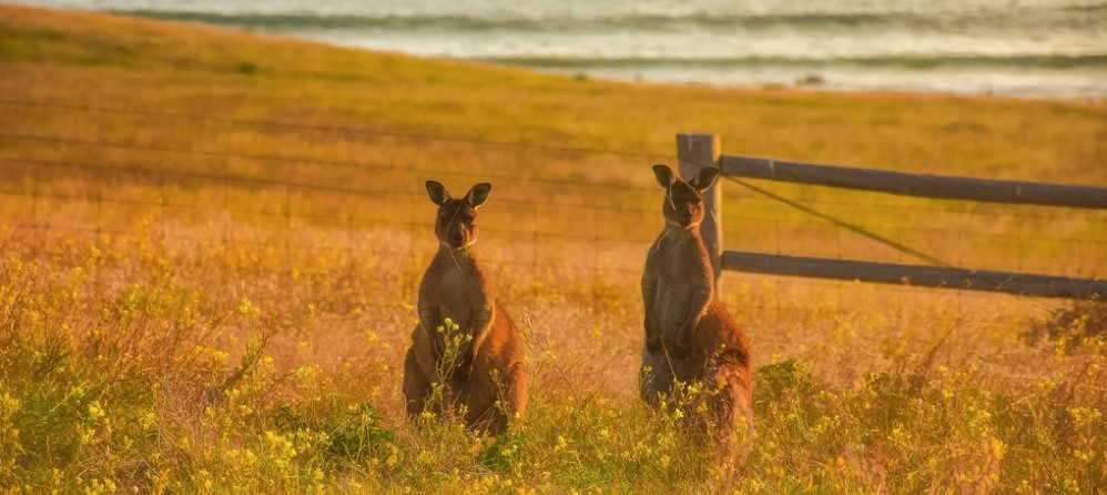 How Many Types of Kangaroos are here in Australia