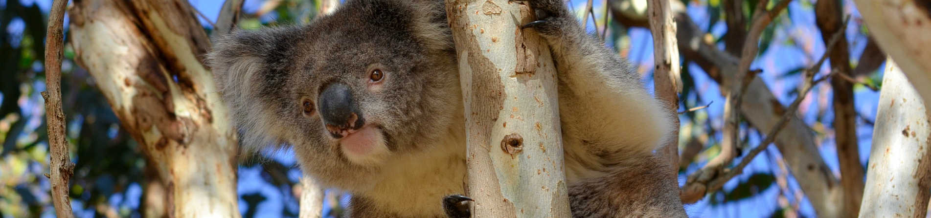 Are there Koalas on Kangaroo Island?