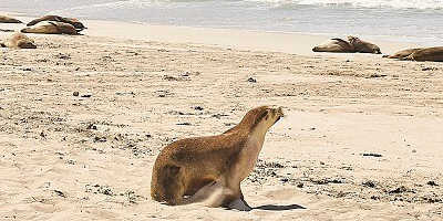 1 Day Kangaroo Island Tour $310